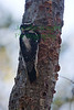 Downy Woodpecker1491