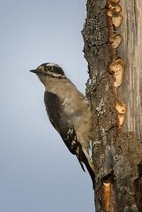 Male Downy Woodpecker