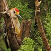 Golden-fronted Woodpecker (19)