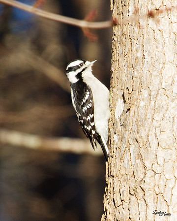 Downy Woodpecker 4