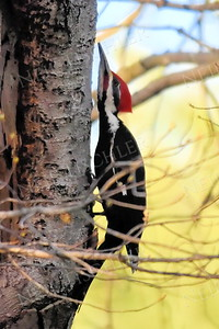 #1180  Pileated Woodpecker, male, listening/looking for insects in the tree bark