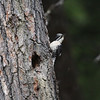 American Three-toed Woodpecker-Kispiox-BC-Canada-2696