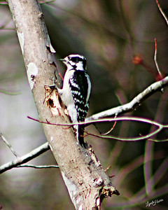 Downy Woodpecker 2