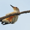 Description - Red-bellied Woodpecker <b>Title - Hang In There </b> <i>- Don Durfee</i>