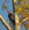 Description - Pileated Woodpecker on Cypress Tree <b>Title - Pileated Woodpecker</b> <i>- Meg Puente</i>