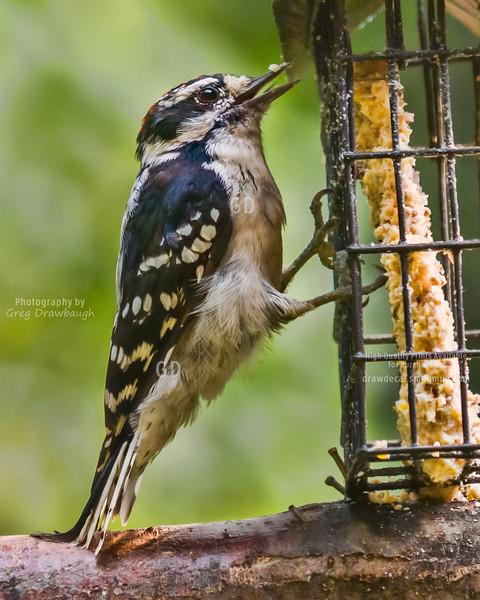 Woodpecker Tripod