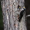 American Three-toed Woodpecker-Kispiox-BC-Canada-2725