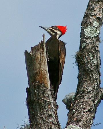 Pileated Woodpecker 1