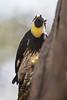 AcornWoodpecker5319
