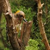 Golden-fronted Woodpecker (21)