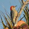 <b>Title - Red-bellied Woodpecker</b> <i>- Meg Puente</i>