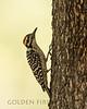 Ladder-backed Woodpecker, Patagonia-Sonoita Creek Preserve Arizona