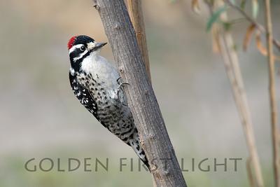 Nuttall's Woodpecker, Audubon Kern River Reserve California