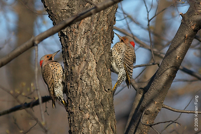 "April 12th:  Two male Northern Flickers silently doing the ""flicker dance"" in Central Park.  Since there was no female around, perhaps they were having a territorial dispute?"