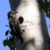 American Three-toed Woodpecker_Ormond Lk_BC_Canada-202