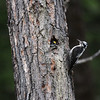 American Three-toed Woodpecker-Kispiox-BC-Canada-2667