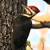 #1178  Pileated Woodpecker, male