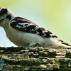 Downy Woodpecker (3)