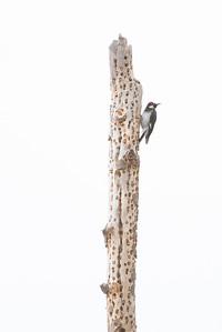 Acorn Woodpecker with a full larder