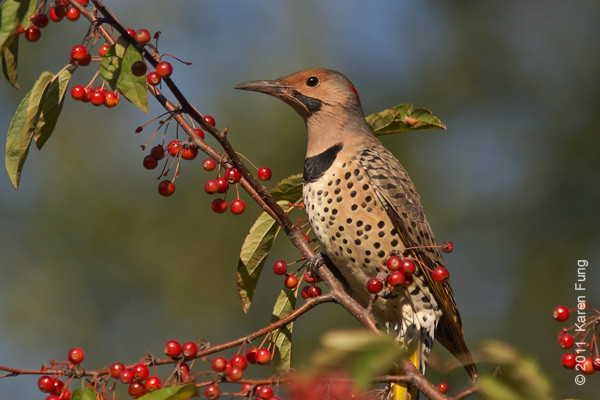 8 October: Northern Flicker in Central Park
