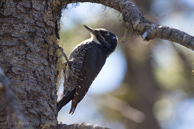 19 June: Female American Three-toed Woodpecker