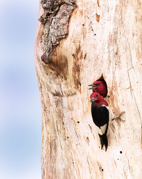 Red bellied Woodpeckers at Nest