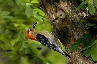 Red-bellied woodpecker
