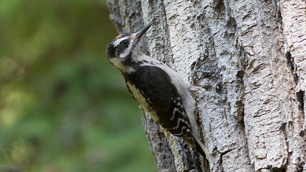 19 July: Juvenile Hairy Woodpecker, Eastern Cascades