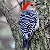 Description - Red-bellied Woodpecker <b>Title - Red-bellied Woodpecker</b> <i>- Howard Bernstein</i>