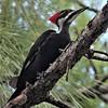 Loxahatchee Pileated Woodpecker