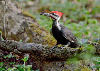 Male Pileated Woodpecker, La Salle Co, IL, 5-6-13. Cropped image.