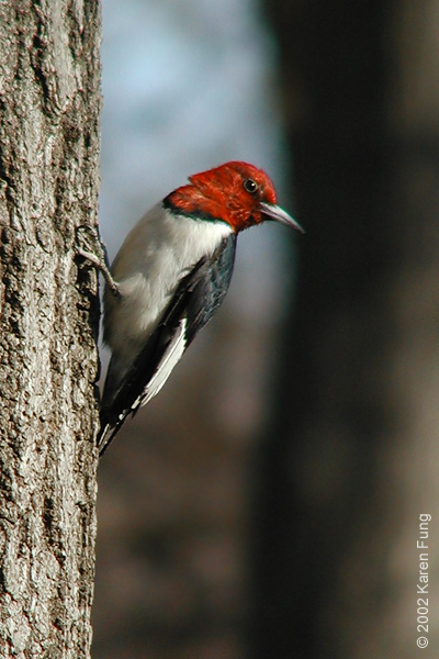Red-headed Woodpecker that was taken in Central Park in December 2002.  We had three Red-headed Woodpeckers that overwintered in Central that season, but this was the only one with a completely red head.  It lingered in the park near Tanner's Spring for four months and appeared to have an injured wing.