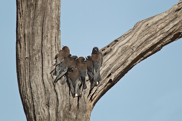Woodswallows, Butcherbirds
