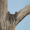 D Stowe_Little Woodswallows_6034-Edit