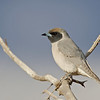 D Stowe_Masked Woodswallow-1r