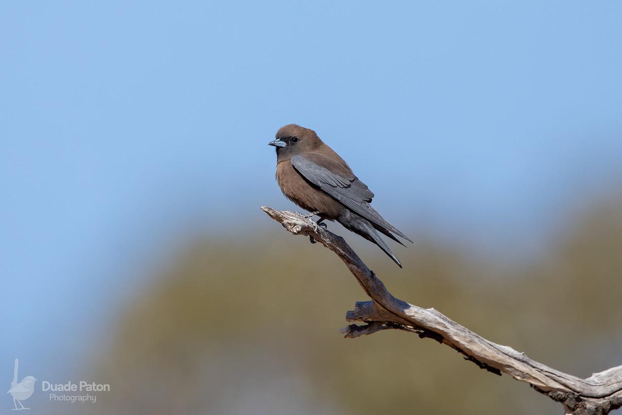 Little Woodswallow