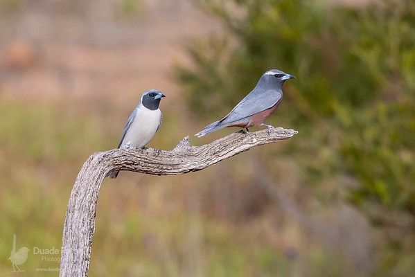 White-browed Woodswallow & Masked Woodswallow