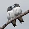White-breasted Woodswallows (Artamus leucorynchus)