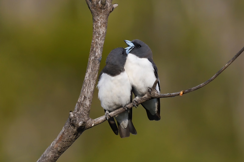 White-breasted Woodswallows (Artamus leucorynchus)
