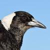 Australian magpie (Cracticus tibicen)