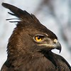 Long-crested Eagle<br />  World Bird Sanctuary
