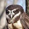 Spectacled Owl<br /> World Bird Sanctuary