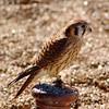 American Kestrel <br /> World Bird Sanctuary