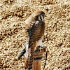 American Kestrel<br /> World Bird Sanctuary