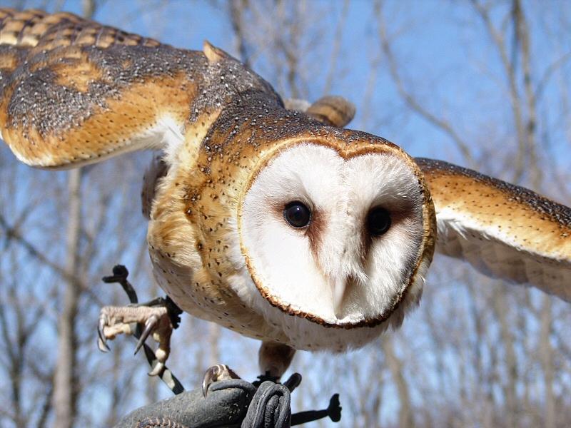 Barn Owl<br /> World Bird Sanctuary