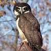 Spectacled Owl <br /> World Bird Sanctuary
