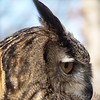 Eurasian Eagle Owl<br /> World Bird Sanctuary