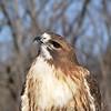 Red Tail Hawk<br /> World Bird Sanctuary