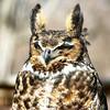 Great Horned Owl <br /> World Bird Sanctuary