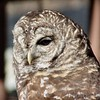 Barred Owl <br /> World Bird Sanctuary